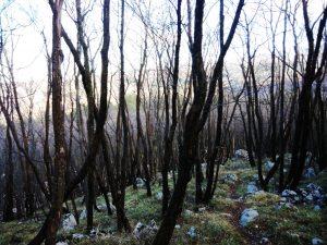 Tra alberi neri lungo il sentiero di discesa dal Monte San Gabriele verso Ravnica