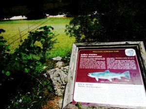 La trota Salmonata dell'Isonzo