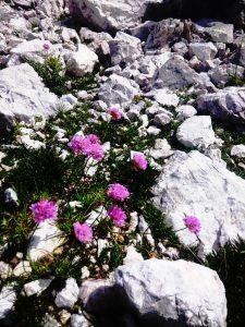 fiori di Montagna di alta quota (!)