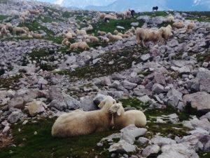 Una pecora con agnellino tra le trincee del Batognica