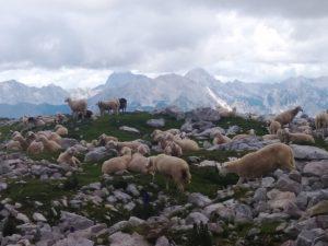 Ovini tra i trinceroni italiani e austriaci sul Batognica (Monte Rosso)