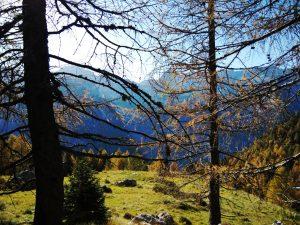 Larici sulla Salita al Monte Cregnedul