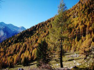Larici dal Secjons verso Val Raccolana