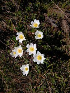 Anemone alpino