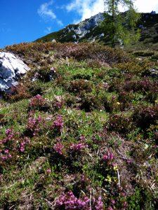 La salita tra l'erica verso il Monte Chiavals