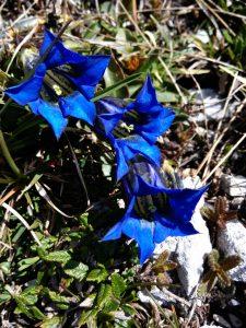 Genziana nella Riserva Naturale della Val Alba