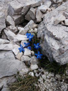 Genziana Bavarese in Val Alba