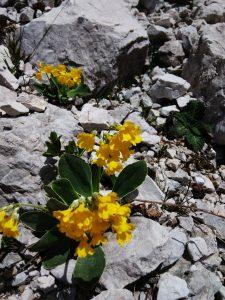 Primula di Montagna Val Alba