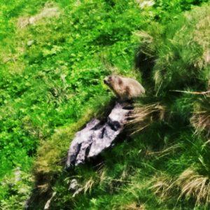 Marmotta scendendo da Forca di Lanza