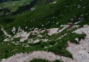 Branco di Stambecchi scendono verso l'altopiano del Montasio