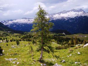 Larice verso l'Altopiano del Montasio