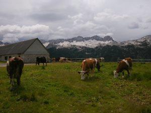 Vacche alle Malghe del Montasio