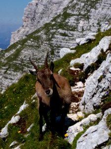 Stambecco fotogenico lungo la Salita alla Cima di Terrarossa